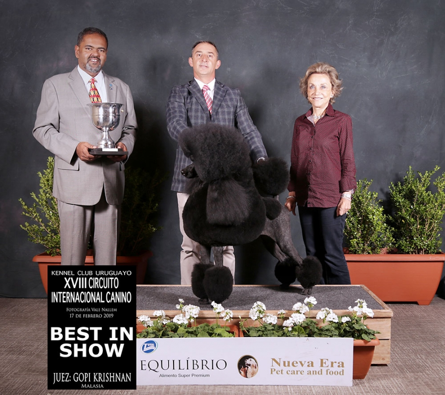 The Circuito Internacional Uruguay Best in Show was the Standard Poodle Briarside TG all About Veda