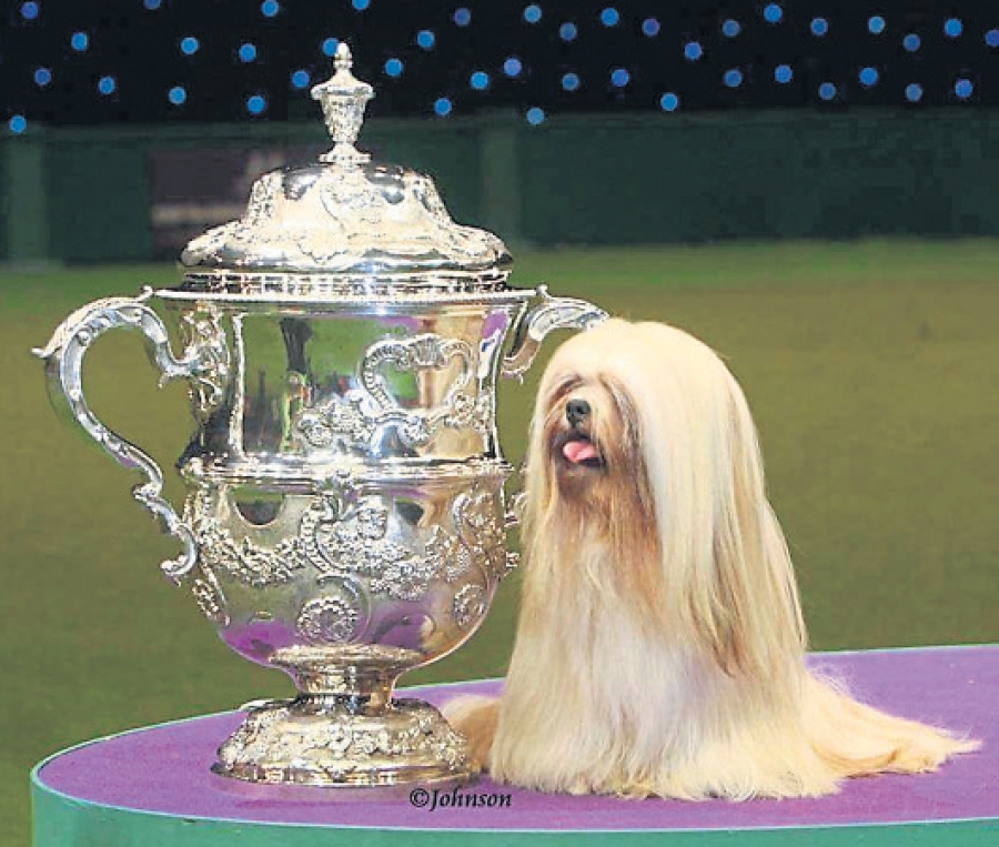 Owned by Margaret Anderson, the Lhasa Apso was BIS winner of Crufts 2012 judged by Frank Kane
