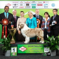 Best in show under Gopi Krishnan at Germany's flagship show, the Dortmund Bundessieger, was Gr Ch Austrian Dream Fascination With Fire, bred and owned by Philipp Harrer in Austria, presented by Katja Rauhut and on this occasion, handled by Csenge Palocska in the Best in Show final. Also pictured in the presentation party from right to left, Crista Bremer the Vice President of the VDH, Udo Kopernik VDH Board member, Katja, Csenge, Vince Hogan of OUR DOGS (Media Partner) and BIS Judge Mr Gopi Krishnan the President of the Malaysian Kennel Club. 'Scamp' also won Reserve Best in Show at the German Herbstsieger (National) Show under Christian Stefanescu from Romania.