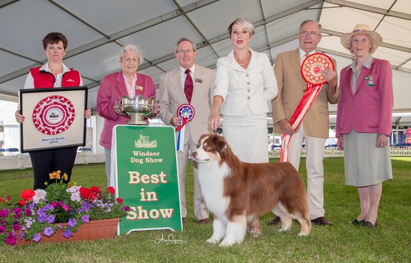 Best in show at  Windsor was the Australian Shepherd AKC ASCA Ch Wyndstar Magic Marker, owned by Mrs Kerry Kirtley & Mrs Dori Erdesz, handled by Melanie Spavin and pictured with the Best in Show judge Ronnie Irving.