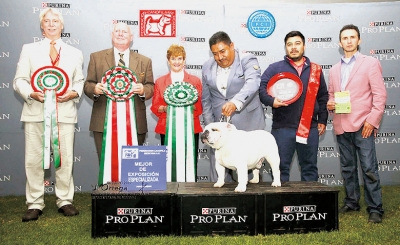 BIS at the 'English Bulldog Specialty Show'  judged by Mrs. Hubbard and Mark Kennedy was Am Ch. and Mex GCh Lord Baden (Quiroz)  Best of Breed.    Bred by Guillermo Quiros and owned by Jessie de Jesus Arango Ayuzo. Handed by Alex Garcia.