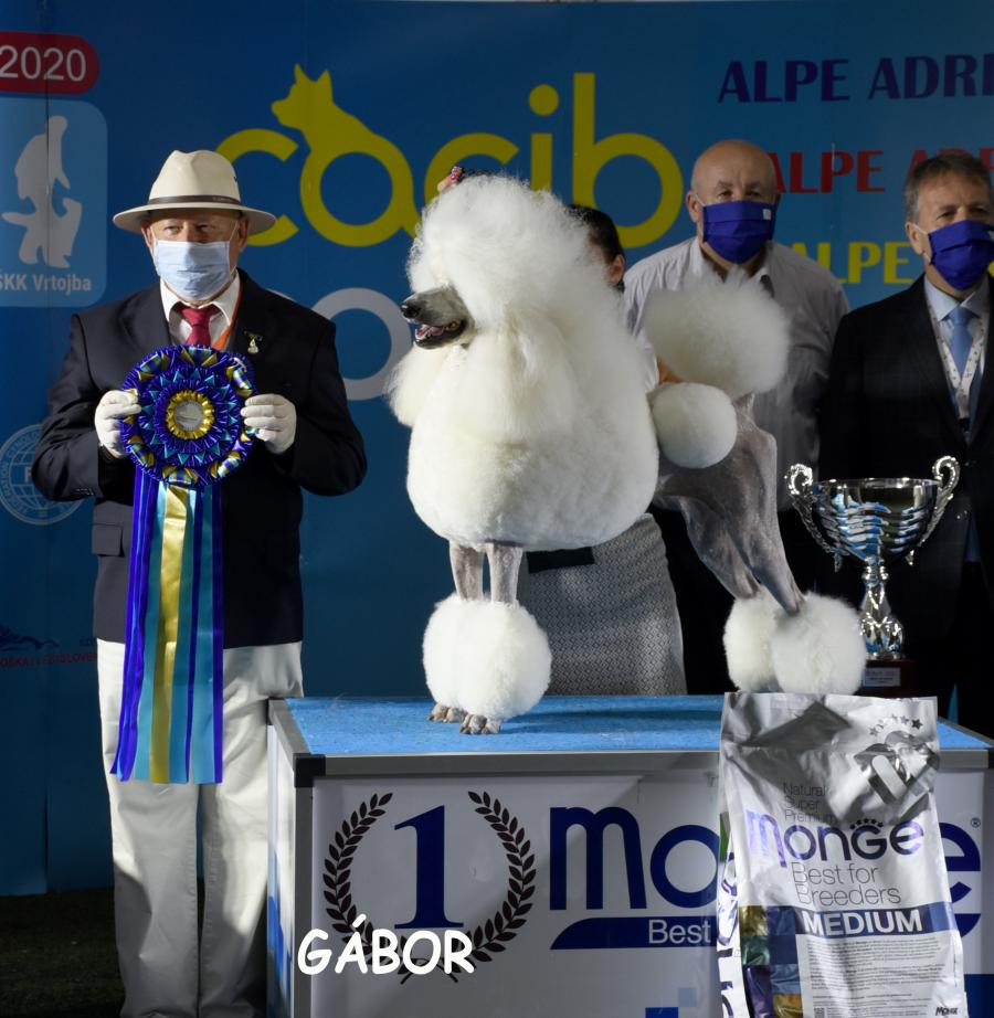 8th August Vrtojba Intl Show, the BIS was the Standard White Poodle Piedmont's Bewitched, bred and owned by Barrie Drewitt-Barlow (UK), handled by Valentina Zupan, the BIS judged by Stefan Sinko, the President of the Slovenian KC