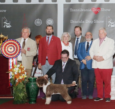 BEST IN SHOW at the TRANSILVANIA CACIB SHOW on 15.09.19 was the  Lagotto Romagnolo, Kan Trace Very Cheeky Chic, bred by Sabina Zdunic  Sinkovic & Kalecak, owned by Sabina Zdunic Sinkovic.