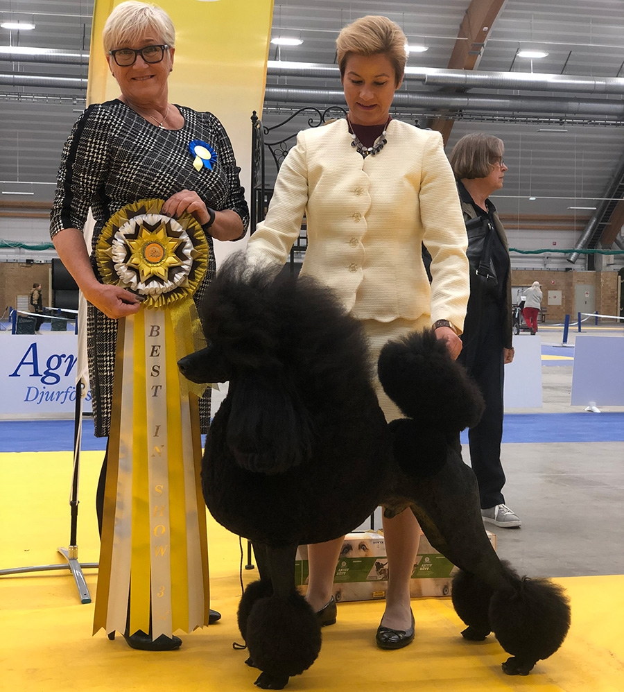 In the lead for 2019 the Standard  Poodle multi Ch BIS Dawin All The Buzz, bred and owned by Linda  Campbell, Canada and handled by Lotta Sandell