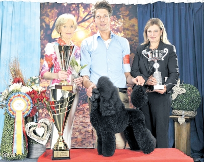 Best in Show at the Brabo 2017 show was the Group 9 winner, the Miniature Poodle, Curlfinch Jakira, owned by Kroes - Vink Corrie. Group Judge for Group 9 and also the BIS Judge was Mrs Degryze (Belgium).