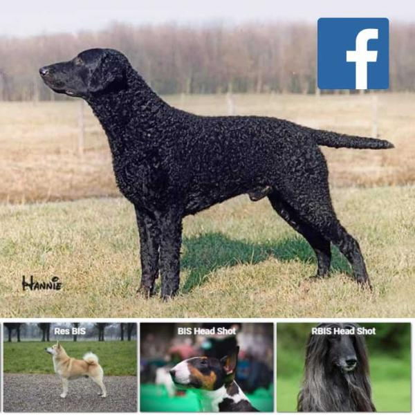 BEST IN SHOW in the side view/stacked  shot competition was the winner of the  Gundog Group, the Curly Coated  Retriever, Callabus Kingfisher,  otherwise known as Andy, owned  by Hannie Warendorf.