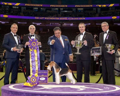 Westminster 2019 Best In Show was awarded to the Wire Fox Terrier, GCHB Ch Kingarthur Van Foliny Home. The eight-year-old star is owned by Victor Malzoni Junior and was bred by R De Munter & D Uiterwijk. He was piloted to his success by ace handler, Gabriel Rangel.