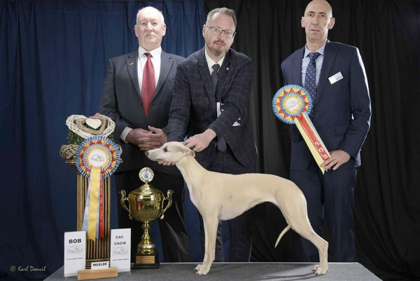 Best in Show at Weelde CACIB 2019 was the Whippet, Proud Mary Da Roseira Brava, owned by Bart Scheerens from Belgium. BIS Judge was Dirk Spruyt (Belgium).