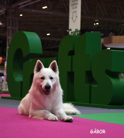 "The Swiss White Sheperd ""North"" Doux of Ice Wine, was the top Hungarian dog at Crufts 2019 taking BOB as the new Import Registered dog. He later won a few BISs (including the INSUBRIA winner, Italy). In the previous year he was Group Winner at the European Dog Show, Warsaw and also group winner at the WDS, Moscow. He is bred and owned by Kata  Magyar and handled by Vivien Poth."