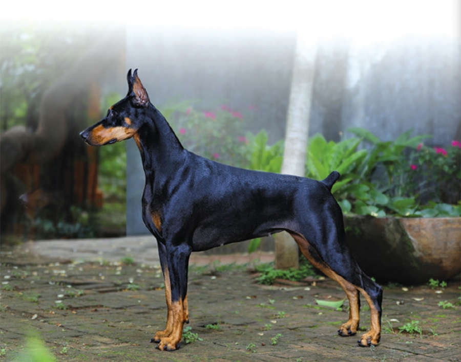 Reserve Dog of the year - Padmavathy Trophy Dobermann of the year- The Magic Million Trophy GR IN CH GOLDEN HEART'S STARLINE KARMA Dobermann Owned by Mr.M.H.Manjunath