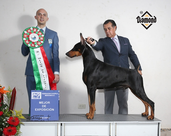 4th Monterrey Kennel Club Dog Show Best In Show Judged by Gerardo Bernard was the 'Doberman' Fonticiella Black Bugatti By Hamlet USA Imp