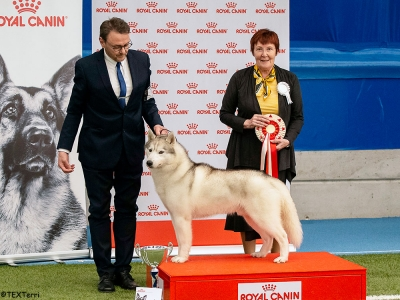 Best in Show at Imatra was the Siberian Husky, Int Ch Snowfrost Silver Stone, owned by Tarja Veijonen. Best in Show Judge was Marija Kavcic (Slovenia).