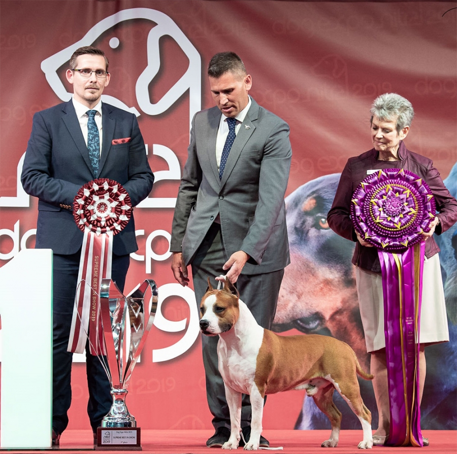 SUPREME BEST IN SHOW at THE DOG EXPO NITRA 2019 was judged by Judith V. Daniels (USA) and she chose the American Staffordshire Terrier, ATTACKS OF LOVE SPLANETY ZVEZD, bred by A. I. Grigorievyh and owned by Valeriya Golubeva, (RU) as her winner.