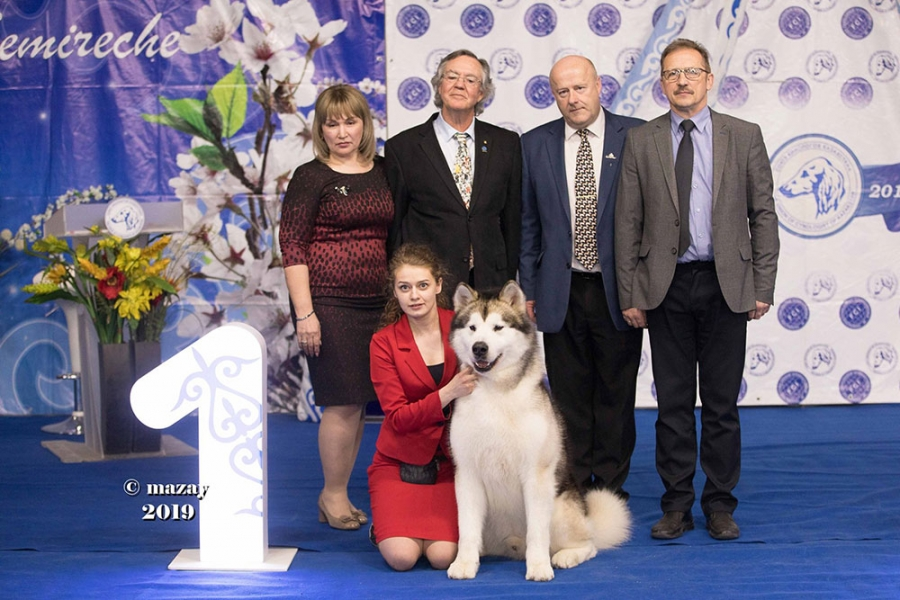 Pictures above is Best in Show in Kazakhstan at the Almaty International Show on Day 2 was the Alaskan Malamute, named Absolute. Judge was Paul Lawless.