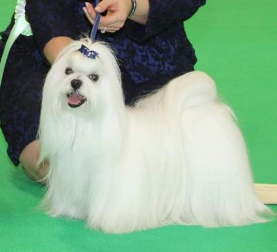 BEST VETERAN  IN SHOW was the  Maltese, Ir. Ch. Zumarnik Hot  Pursuit CW12 ShCM, owned by Raewyn &  Doreen Dowsett, co-owned with breeder  Nicola Welbourn and Susan Tyler.